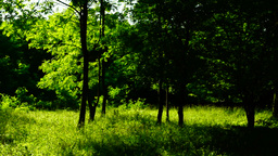 Woods forest, trees background, green nature landscape, sunny grove, august, pan Footage