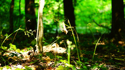 Woods forest, trees background, green nature landscape, ground, august, pan Footage