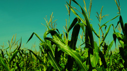 Chromatic maize field blowing in the wind on a sunny day Footage