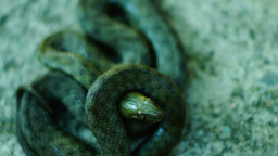 Coiled snake looking at camera, tongue out. Dice snake ( Natrix tessellata ) Footage