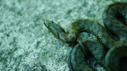 Coiled Snake, Tongue Out, Looking Away. Dice Snake ( Natrix Tessellata ) stock footage