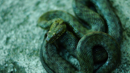 Coiled snake, tongue out. Dice snake ( Natrix tessellata ) Footage