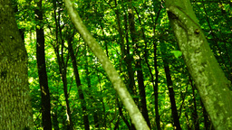 Woods forest, trees background, green nature landscape,sunbeams, august, pan Footage