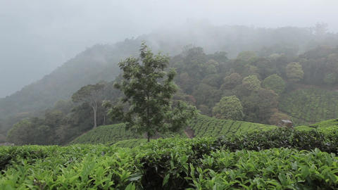 Tea plantations in Munnar, India Footage