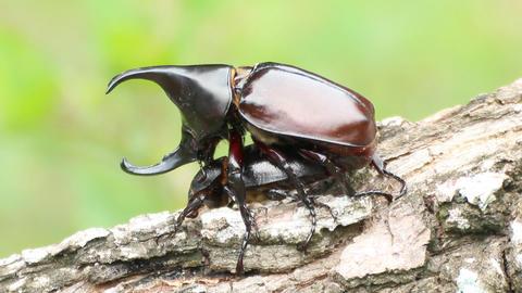 Breeding of Rhinoceros beetle in the breeding season Live Action