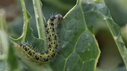 Single caterpillar of Pieris brassicae feeding on cabbage, 4k, 25 fps Footage