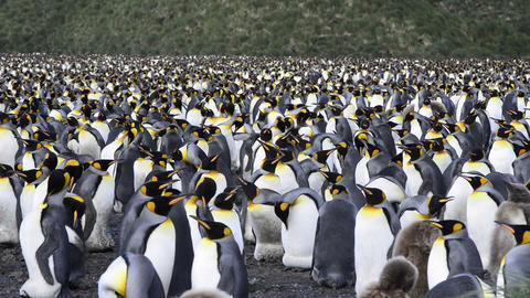 King Penguins Footage