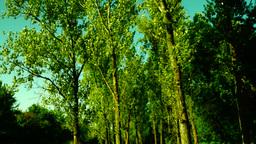 Woods forest, trees background, green nature landscape, grove, august, tilt Footage
