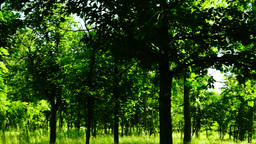 Woods forest, trees background, breeze, wilderness, august, pan Footage