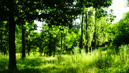 Woods forest, trees background, grove, breeze,august, pan Footage