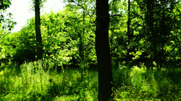Woods forest, trees background, sunlight through tree leaves in summer day, pan Footage
