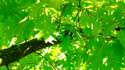 Sunlight Through Oak Tree Leaves In Summer Day, Low Angle Shot stock footage