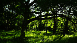 Woods forest, trees background, green nature landscape, lights and shadows, pan Footage
