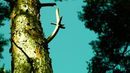 Bark of old pine tree, pan Footage