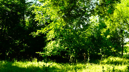 Grove, woods forest, trees background, green nature landscape,august, pan Footage
