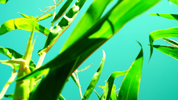 Corn field with slant of wind on a sunny day,rotation, low angle shot Footage