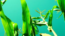 Maize Field With Unripe Cob In August, Wind, Light Rotation, Low Angle Shot stock footage