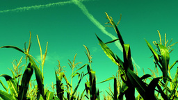 Maize field, wind, august, surreal sky,plane traces Footage