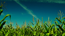 Hued Corn Field With Slant Of Wind On A Sunny Day,plane Traces,low Angle Shot stock footage