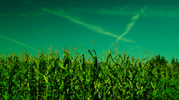 Corn field ,slant of wind , sunny day, plane traces Footage