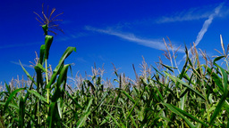 Corn field with slant of wind on a summer day,indigo sky,plane traces Footage