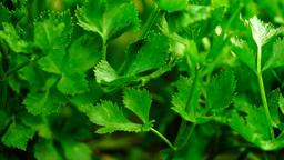 Celery leaves growing in garden Footage