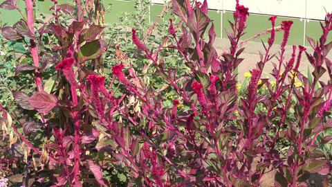 Amaranth flower Footage