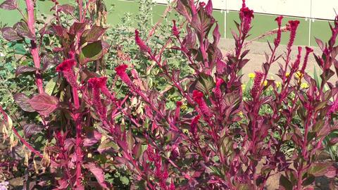 Amaranth flower Stock Video Footage
