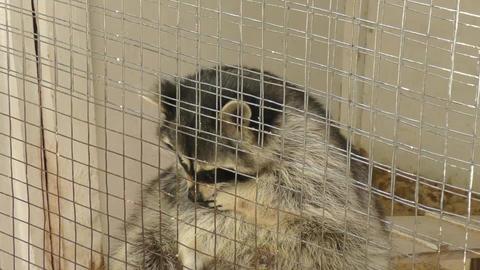 Raccoon at the farm Footage