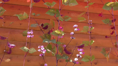 Flowers of decorative beans are swinging in the wind Footage