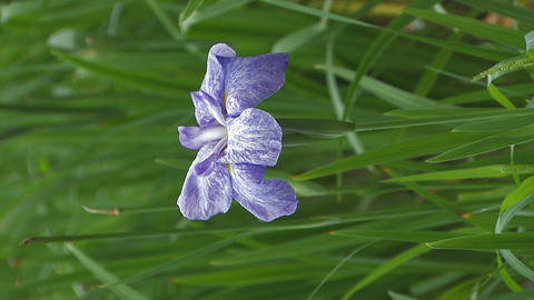 Flower of Japanease Iris,Vertically Oriented Video,in... Stock Video Footage