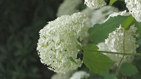 Flowers of Hydrangea,Vertically Oriented Video,in Showa Kinen Park_5 Footage
