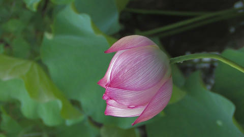 Flower of Lotus,Vertically Oriented Video,in Showa Kinen Park_3 Filmmaterial