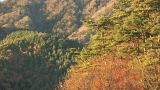 Autumn Leaves And Extensive Forest In Sai Lake,Yamanashi,Japan stock footage