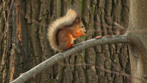 The squirrel gnaws a nut Stock Video Footage