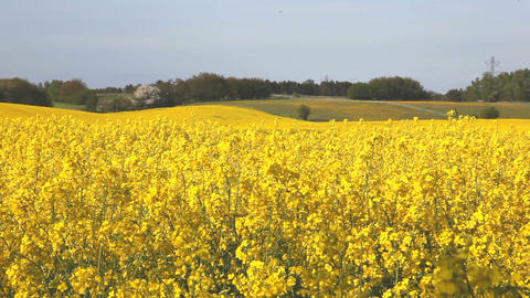 Yellow flower field Stock Video Footage