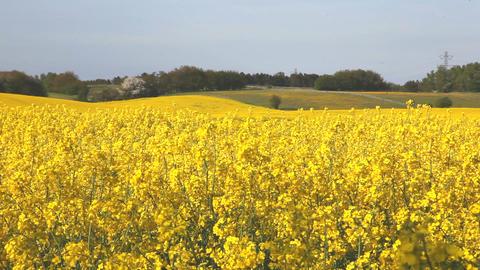 Yellow flower field Stock Video Footage