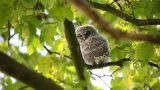 Juvenile owl in tree Footage