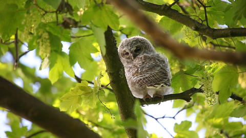 Juvenile owl in tree Stock Video Footage