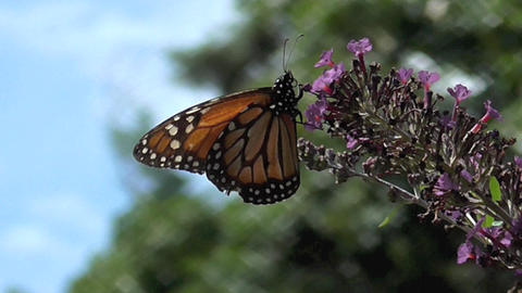 Monarch Butterfly Live Action