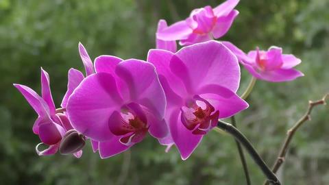 Orchid purple Footage