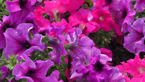 Flowers petunia Footage