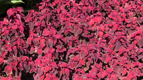 Dark purple Coleus sways in the wind Footage