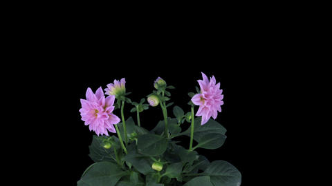 Growing, opening and rotating pink dahlia in RGB + ALPHA matte format Footage