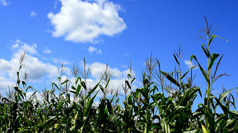 Corn field Live Action
