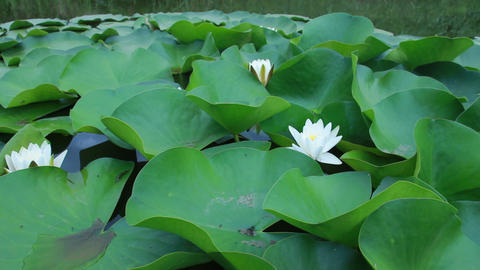 white lilies in the water Footage