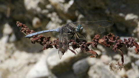 blue dragonfly on dry branch Footage