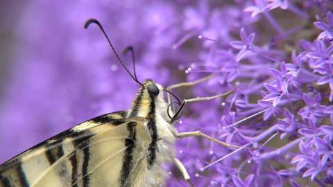 Podalirio butterfly Footage