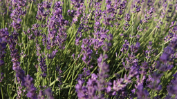 lavender bunch in wind Footage