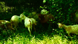 Goats eating grass. Farming. Agriculture. Red goat looking to the camera Footage